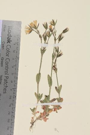 (Cerastium alpinum alpinum - TROM_V_162329)  @11 [ ] CreativeCommons - Attribution Non-Commercial Share-Alike (2014) Unspecified Tromso University Museum