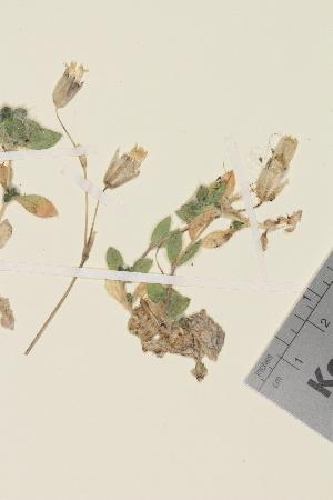 (Cerastium alpinum lanatum - TROM_V_963828)  @11 [ ] by-nc-sa (2014) Unspecified Tromso University Museum