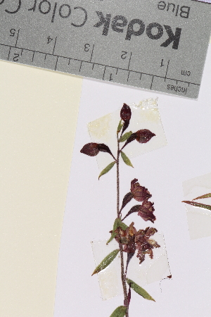 (Epipactis - TROM_V_990595)  @11 [ ] by-nc-sa (2014) Unspecified Tromso University Museum
