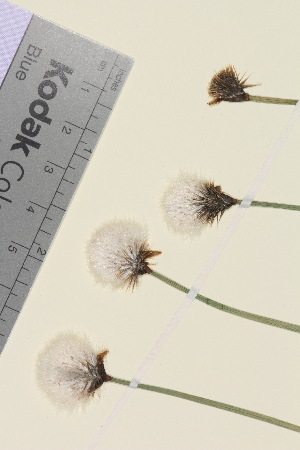 (Eriophorum scheuchzeri - TROM_V_147255)  @11 [ ] CreativeCommons - Attribution Non-Commercial Share-Alike (2015) Unspecified Tromso University Museum