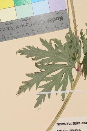 (Geranium pratense - TROM-V-75713)  @11 [ ] by-nc-sa (2014) Unspecified Tromso University Museum