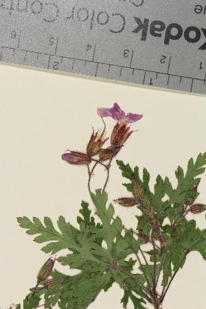 (Geranium robertianum - TROM-V-966477)  @11 [ ] by-nc-sa (2014) Unspecified Tromsø University Museum