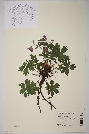 (Geranium sylvaticum - TROM-V-147347)  @11 [ ] by-nc-sa (2014) Unspecified Tromso University Museum