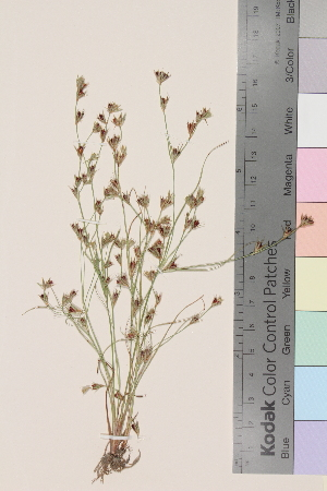 (Juncus bufonius bufonius - TROM_V_131761)  @11 [ ] by-nc-sa (2014) Unspecified Tromso University Museum