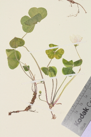 (Oxalis acetosella - TROM_V_962584)  @11 [ ] by-nc-sa (2014) Unspecified Tromsø University Museum