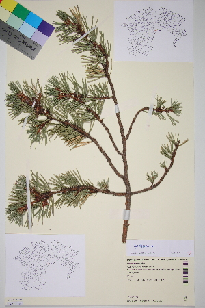 (Pinus sylvestris lapponica - TROM_V_960401_sg)  @11 [ ] CreativeCommons - Attribution Non-Commercial Share-Alike (2014) Unspecified Tromso University Museum