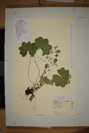 (Alchemilla norvegica - SEL_0088)  @11 [ ] CreativeCommons - Attribution Non-Commercial Share-Alike (2013) Unspecified Tromso University Museum