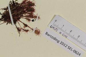 (Drosera longifolia - SEL_0624)  @11 [ ] CreativeCommons - Attribution Non-Commercial Share-Alike (2012) Unspecified Tromsø University Museum