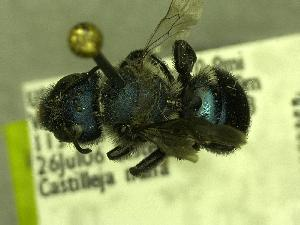 (Osmia aff_grindeliae - YOSE189823)  @13 [ ] Unspecified (default): All Rights Reserved  Unspecified Unspecified
