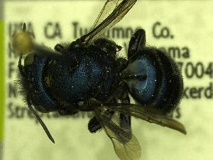 (Osmia cyanopoda - YOSE191492)  @13 [ ] Unspecified (default): All Rights Reserved  Unspecified Unspecified