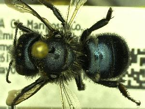 (Osmia grinnelli - YOSE180813)  @13 [ ] Unspecified (default): All Rights Reserved  Unspecified Unspecified