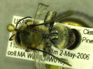(Osmia nigrobarbata - BBSL7757888)  @13 [ ] Unspecified (default): All Rights Reserved  Unspecified Unspecified