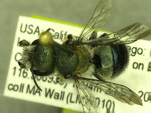 (Osmia nigrobarbata - BBSL7757887)  @13 [ ] Unspecified (default): All Rights Reserved  Unspecified Unspecified