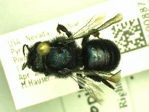 (Osmia nigropilosa - FDP100887)  @11 [ ] Unspecified (default): All Rights Reserved  Unspecified Unspecified