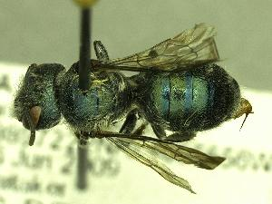 (Osmia pumila - USGS-DRO132924)  @14 [ ] Unspecified (default): All Rights Reserved  Unspecified Unspecified