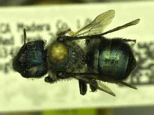 (Osmia sp_Y4 - YOSE199162)  @13 [ ] Unspecified (default): All Rights Reserved  Unspecified Unspecified
