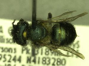 (Osmia sp_Y5 - YOSE189606)  @13 [ ] Unspecified (default): All Rights Reserved  Unspecified Unspecified