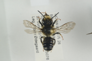 (Megachile alpicola - NOAPI465)  @13 [ ] CreativeCommons - Attribution Non-Commercial Share-Alike (2014) Arnstein Staverlokk Norwegian Institute of Nature Research