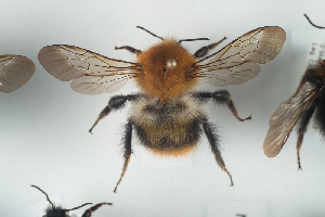 (Bombus pascuorum - NOAPI599)  @14 [ ] CreativeCommons - Attribution Non-Commercial Share-Alike (2014) Arnstein Staverlokk Norwegian Institute of Nature Research