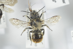 (Osmia maritima - NOAPI249)  @14 [ ] CreativeCommons - Attribution Non-Commercial Share-Alike (2014) Arnstein Staverlokk Norwegian Institute of Nature Research