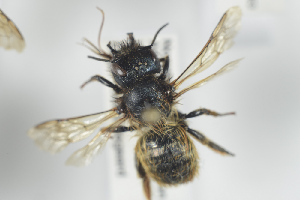 (Osmia bicornis - NOAPI262)  @14 [ ] CreativeCommons - Attribution Non-Commercial Share-Alike (2014) Arnstein Staverlokk Norwegian Institute of Nature Research
