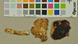 (Russula cessans - O-DFL-1937)  @11 [ ] by-nc-sa (2015) Unspecified University of Oslo, Natural History Museum