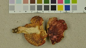 (Russula aurantioflammans - O-DFL-1939)  @11 [ ] by-nc-sa (2015) Unspecified University of Oslo, Natural History Museum