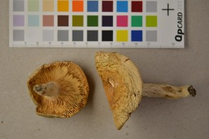 (Russula violeipes - O-F-22442)  @11 [ ] by-nc-sa (2016) Unspecified University of Oslo, Natural History Museum