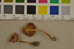 (Inocybe muricellata - O-F-249470)  @11 [ ] by-nc-sa (2016) Unspecified University of Oslo, Natural History Museum