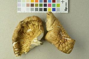 (Pleurotus pulmonarius - O-DFL-2291)  @11 [ ] by-nc-sa (2015) Unspecified University of Oslo, Natural History Museum