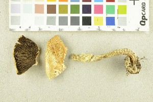(Agaricus essettei - O-F-252449)  @11 [ ] by-nc-sa (2017) Unspecified University of Oslo, Natural History Museum