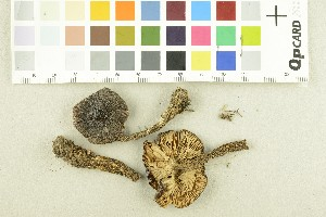 (Tricholoma fucatum - O-F-253889)  @11 [ ] by-nc-sa (2017) Unspecified University of Oslo, Natural History Museum