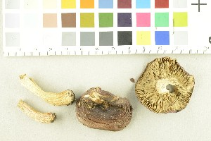 (Russula sp - O-F-253897)  @11 [ ] by-nc-sa (2017) Unspecified University of Oslo, Natural History Museum