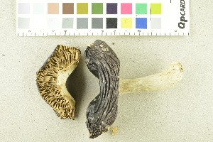 (Russula integra - O-F-254008)  @11 [ ] by-nc-sa (2017) Unspecified University of Oslo, Natural History Museum