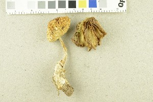 (Amanita crocea - O-F-254049)  @11 [ ] by-nc-sa (2017) Unspecified University of Oslo, Natural History Museum