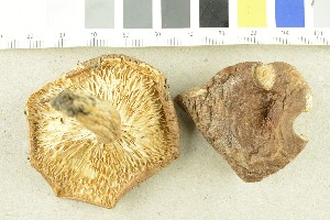 (Lactarius trivialis - O-F-295719)  @11 [ ] by-nc-sa (2017) Unspecified University of Oslo, Natural History Museum