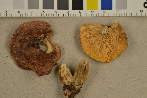 (Lactarius hysginus - O-F-301562)  @11 [ ] CreativeCommons - Attribution Non-Commercial Share-Alike (2016) Unspecified University of Oslo, Natural History Museum