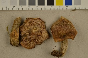 (Lactarius quieticolor - O-F-301564)  @11 [ ] CreativeCommons - Attribution Non-Commercial Share-Alike (2016) Unspecified University of Oslo, Natural History Museum