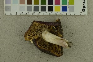 (Russula badia - O-F-302291)  @11 [ ] by-nc-sa (2017) Unspecified University of Oslo, Natural History Museum