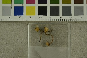 (Galerina badipes - O-F-302937)  @11 [ ] by-nc-sa (2017) Unspecified University of Oslo, Natural History Museum