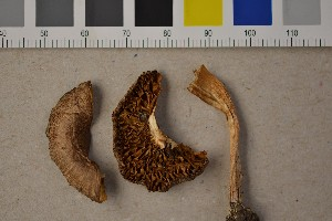 (Inocybe phaeodisca - O-F-303796)  @11 [ ] CreativeCommons - Attribution Non-Commercial Share-Alike (2016) Unspecified University of Oslo, Natural History Museum