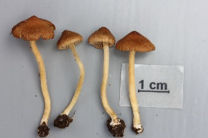 (Inocybe mixtilis - O-F-304839)  @11 [ ] by-nc-sa (2017) Unspecified University of Oslo, Natural History Museum