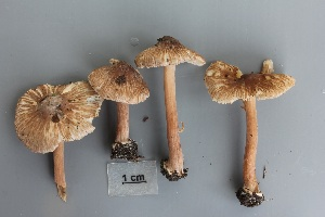 (Inocybe asterospora - O-F-304849)  @11 [ ] by-nc-sa (2017) Unspecified University of Oslo, Natural History Museum