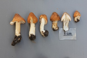 (Inocybe maculata - O-F-304852)  @11 [ ] by-nc-sa (2017) Unspecified University of Oslo, Natural History Museum