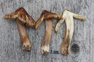 (Inocybe perlata - O-F-304857)  @11 [ ] by-nc-sa (2017) Unspecified University of Oslo, Natural History Museum