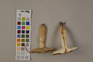(Tricholoma aurantium - O-F-75434)  @11 [ ] Unspecified (default): All Rights Reserved  Unspecified Unspecified