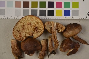 (Tricholoma ustale - O-F-75445)  @11 [ ] Unspecified (default): All Rights Reserved  Unspecified Unspecified