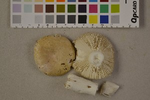 (Russula roseoaurantia - O-F-75461)  @11 [ ] Unspecified (default): All Rights Reserved  Unspecified Unspecified