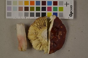 (Russula sanguinea - O-F-75467)  @11 [ ] Unspecified (default): All Rights Reserved  Unspecified Unspecified