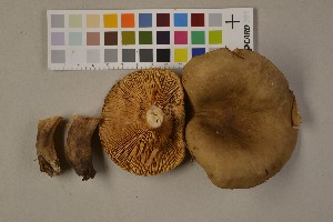 (Lactarius picinus - O-F-75487)  @11 [ ] Unspecified (default): All Rights Reserved  Unspecified Unspecified